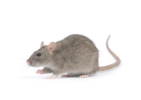 picture of a rat foran example of pest control