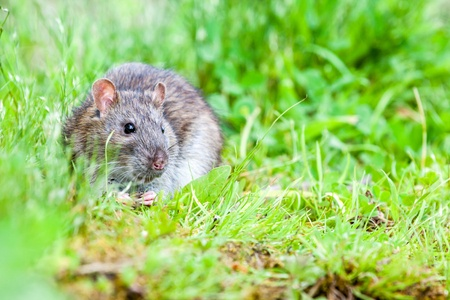 Keep Rats Out of Your Home and Yard