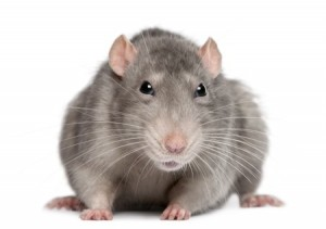 Mice Exterminators in WNY