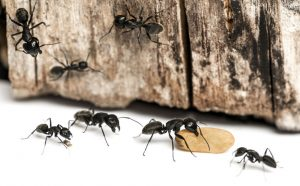 Common Ant Species In Your Home