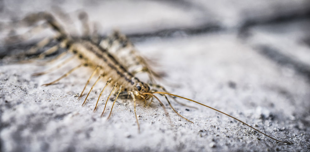 What to Do if You Have Centipedes in the Home