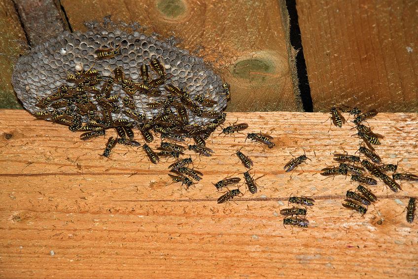 Hornets in attic
