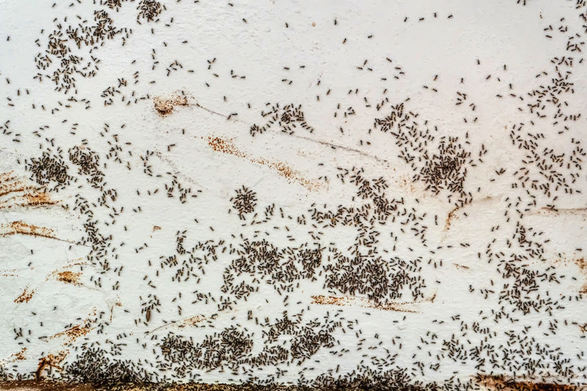 Black ants on the side of a home